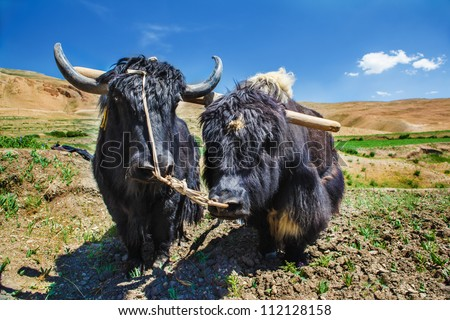 Two yaks ready for ploughing - stock photo