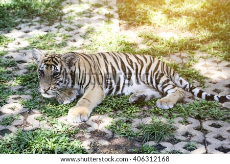 Two year old Siberian Tiger  - stock photo