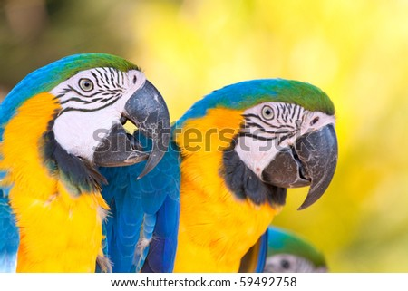 two yellow blue macaws closeup - stock photo