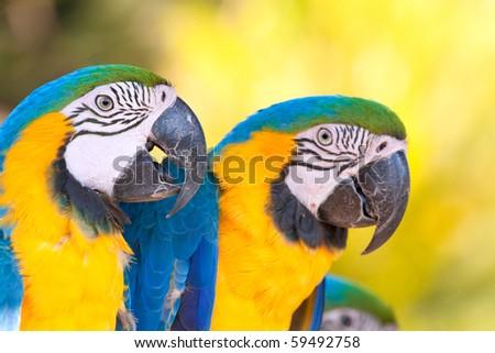two yellow blue macaws closeup - stock photo