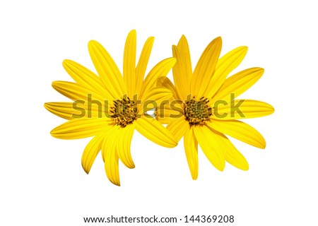 two yellow chamomile on a white - stock photo