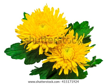 Two yellow chrysanthemum flower isolated on white background - stock photo