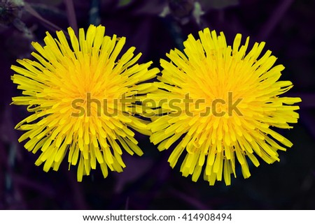 Two yellow dandelion - like two lovers