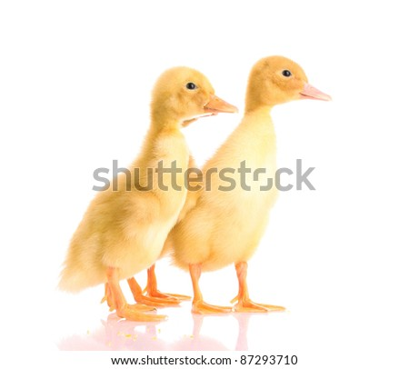 two yellow duck isolated on white