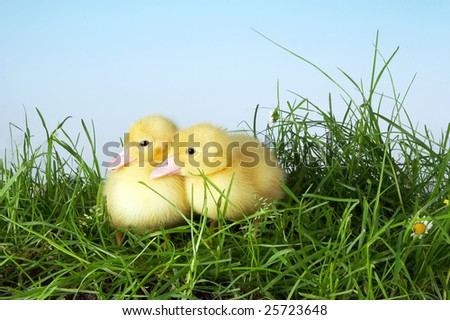 Two yellow easter ducklings talking to eachother in the garden - stock photo
