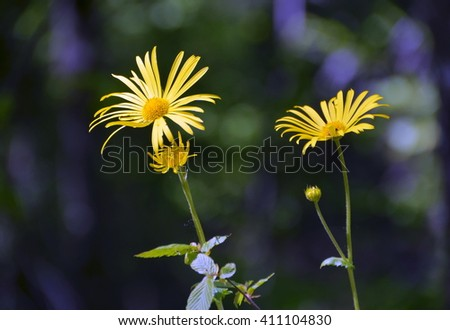 Two yellow flower (Arnica montana) - stock photo