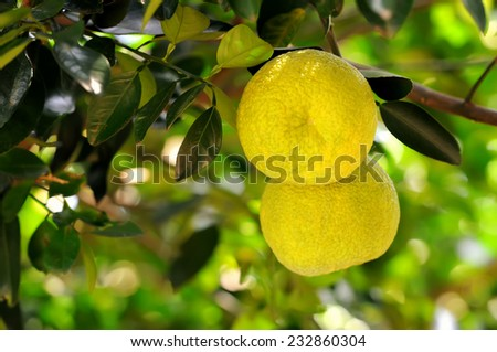Two yellow grapefruits between leaves