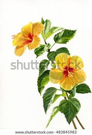 Two yellow hibiscus flowers vertical design stock illustration two yellow hibiscus flowers vertical design watercolor hand painted illustration of two tropical yellow flowers mightylinksfo