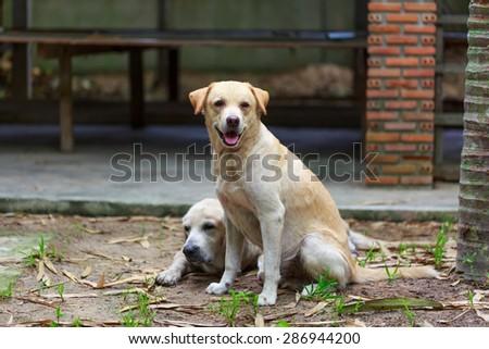 Two Yellow labrador retriever - stock photo