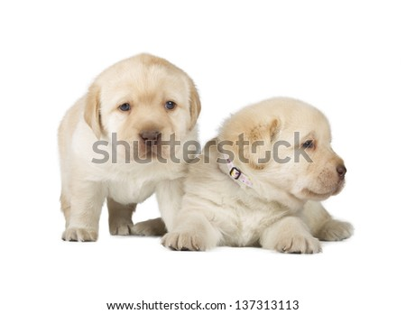 Two Yellow Labrador Retriever Puppies (4 week old, isolated on white background)