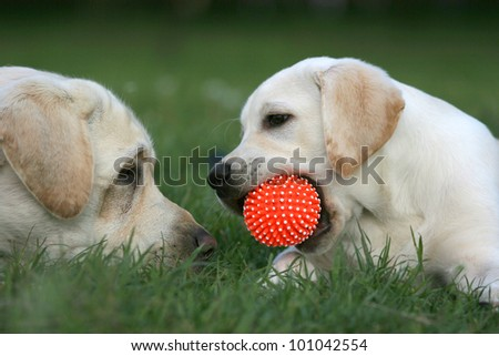 two yellow labradors (adult and puppy) playing with a ball - stock photo