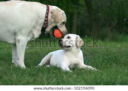 two yellow labradors (adult and puppy) playing with an orange ball - stock photo