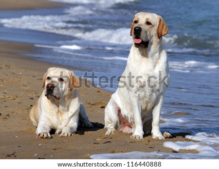 two yellow labradors looking at the sea in summer - stock photo