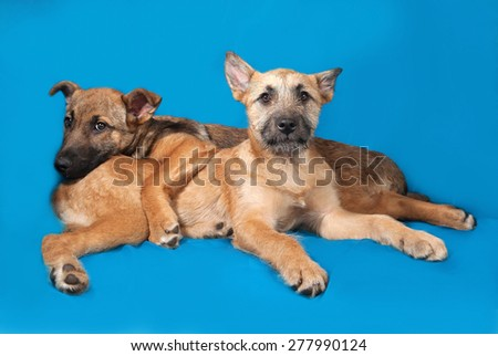 Two yellow puppy lies on blue background - stock photo
