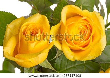 Two yellow roses isolated on white background. - stock photo