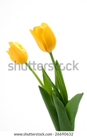 Two yellow tulips isolated