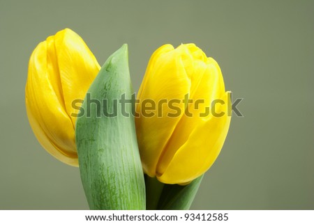 two yellow tulips on gray