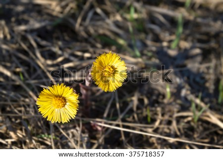two yellow wild flower closeup