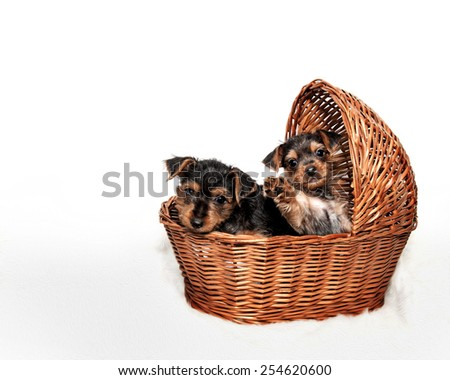 Two Yorkie Puppies in Basket