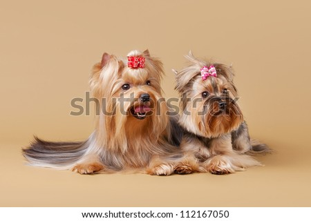 two yorkie puppies on light brown background