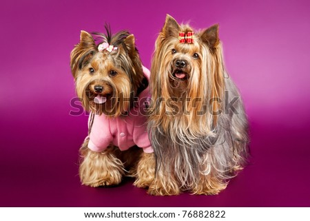 Two  yorkies on dark purple background