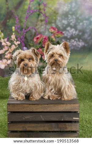 Two Yorkshire Terrier dogs (Yorkies) sit on top of a wooden box in a springtime garden scene