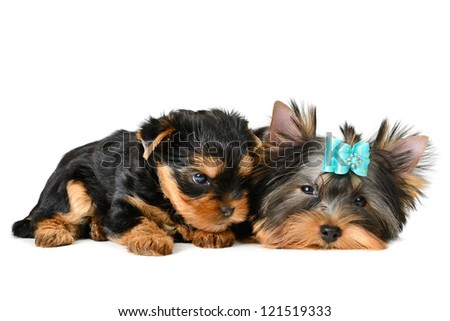 two yorkshire terrier puppy  isolated on white