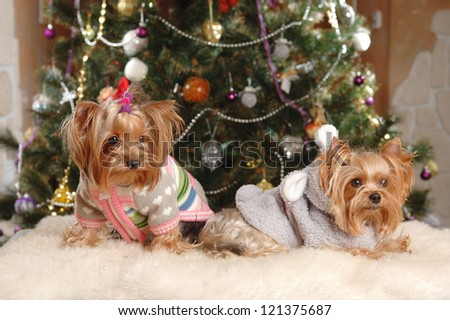 Two yorkshire terrier puppy with Christmas tree