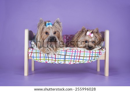 Two Yorkshire Terrier sleeping in bed on violet background isolated