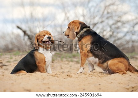 Two youang beagle dogs together in spring - stock photo