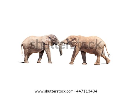 Two young African Elephant bulls engaging in a test of strength, isolated on white