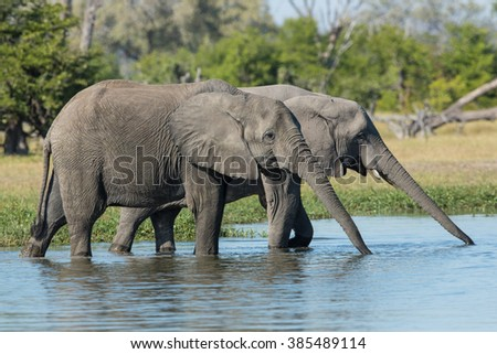 Two young African Elephants drinking in Khwai in Botswana - stock photo