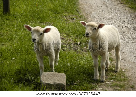 Two young and cute lambs in Peak District National Park, England, United Kingdom