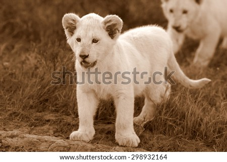 Two young baby white lion cubs in this image. South Africa