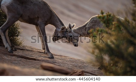 Two young bighorn sheep play in Zion National Park, Utah.  - stock photo
