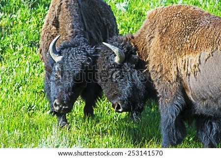 Two young Bison learning to fight. - stock photo