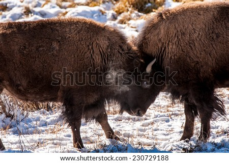Two young bison spar in Yellowstone National Park, winter - stock photo