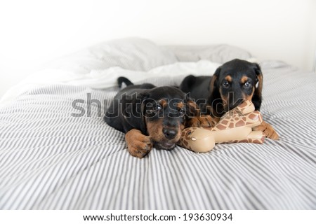 Two Young Black Puppies Playing with Same Toy - stock photo