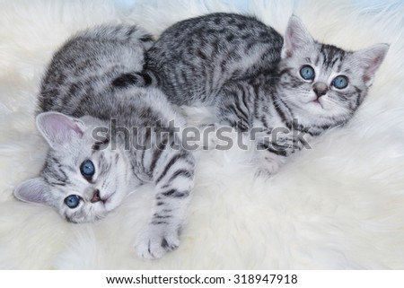 Two young black silver tabby cats lying lazy together on sheepskin - stock photo