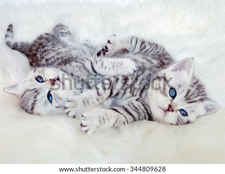 Two young british short hair black silver tabby spotted kittens lying on sheep skin playing together - stock photo