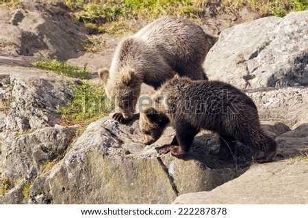 Two young brown bears on a rock