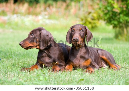 two young brown doberman puppys