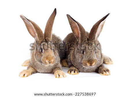 Two young brown domestic rabbits sitting on white