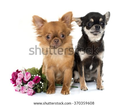 two young chihuahua in front of white background - stock photo