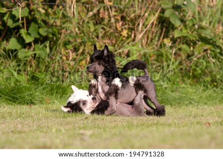 Two young chinese crested dog playing together - stock photo