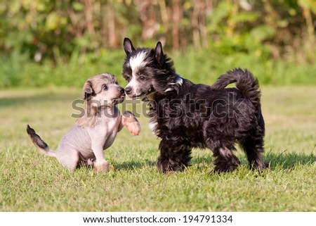 Two young chinese crested dog playing together