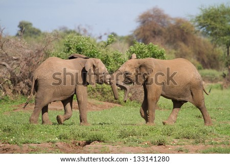 Two young elephant bulls play-fighting by pushing their trunks together