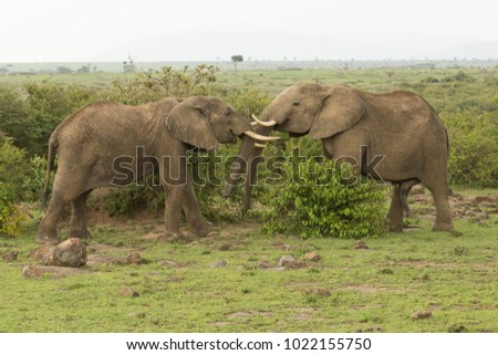two young elephants playing with their tusks and trunks on the grasslands of the Maasai Mara, Kenya