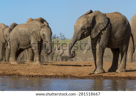 Two young elephants stand near a waterhole with the rest of the herd behind them.