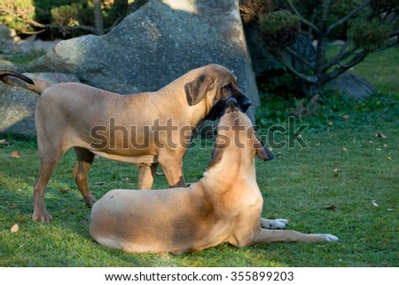 two young female of Fila Brasileiro (Brazilian Mastiff) playing outdoor on green grass